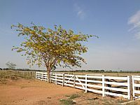 Barra do Gar�as - Barra do Gar�as-MT-Jacarand�-�rvore Nobre do Cerrado-Foto:Pe. Edinisio Pereira�