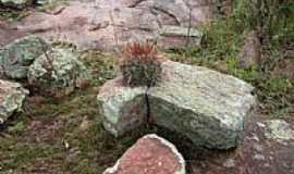 São Domingos - Cacto entre pedras em São Domingos-BA-Foto:Jorge LN