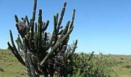 Santa Margarida do Sul - Cactus-Foto:Henrique de BORBA