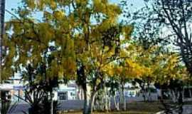Sapeaçu - Árvores de Acácio na Praça em Sapeaçu-BA-Foto:RicardoFilho