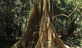 Mamirauá - Mamirauá-AM-Tronco de árvore da Reserva-Foto:Araquém Alcântara