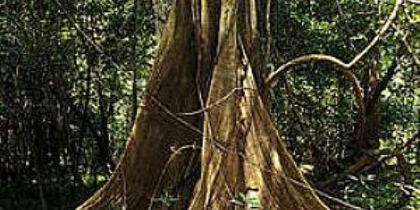 Mamirauá-AM-Tronco de árvore da Reserva-Foto:Araquém Alcântara