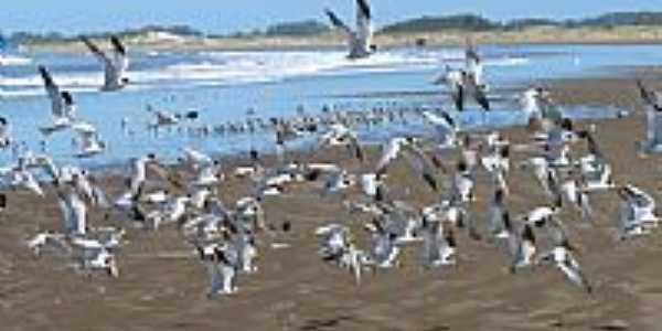 Gaivotas na Praia do Cassino-Foto:Nelson Biasoli dos A…