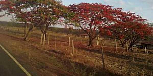 Missão de Aricobé-BA-Flamboyants na estrada de Missão-Foto:vagno vilas boas