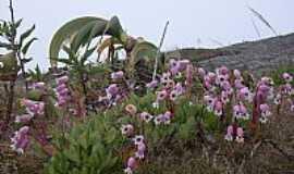 Araras - Araras-RJ-Belas flores na subida da Serra da Maria Comprida em Araras,Município de Petrópolis-Foto:kleiz