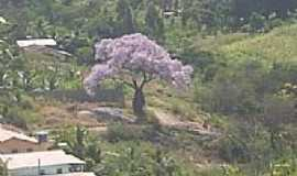 Urandi - Árvore Paxiúba-Barriguda-em Urandi-BA-Foto:jean avelar urandi