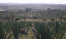 Valente - Valente-BA-Planta��o de sisal-Foto:Jorge LN