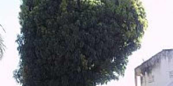 Mangueira em formato de coração na Praça Centenário em Acaraú-CE-Foto:THIAGO13SS