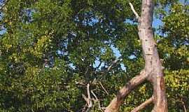 Icapuí - Icapuí-CE-Árvore de Igarapé-Foto:nimra mhad