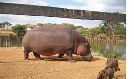 Brasília - Brasilia-DF-Hipopótamo no Jardim Zoológico-Foto:Josue Marinho