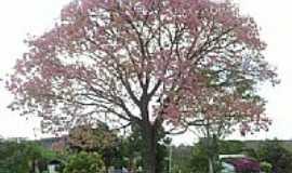 Ibituba - Árvore de Sapucaia-Foto:Samuel Freire de Alm…