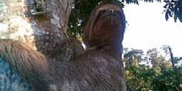 Preguiça na roça-Foto:RENATO-LUCHI-MARTINS