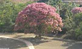 Laranja da Terra - ÁRvore florida à caminho de Itaguaçu em Laranja da Terra-ES-Foto:Sergio Falcetti