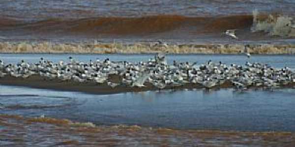 Aves na foz do rio Doce, Regência ES - por Alan Cepile
