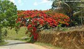 Vila Val�rio - Flamboyant florido na estrada de Vila Val�rio-ES-Foto:Sergio Falcetti