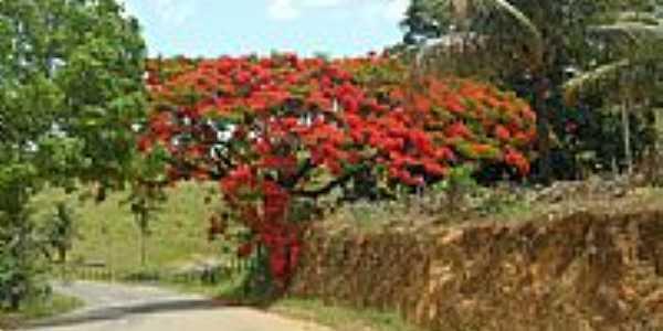 Flamboyant florido na estrada de Vila Valério-ES-Foto:Sergio Falcetti