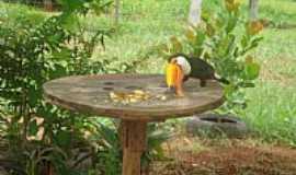 Aragoiânia - Aragoiânia-GO-Tucano se alimentando-Foto:M e l l o