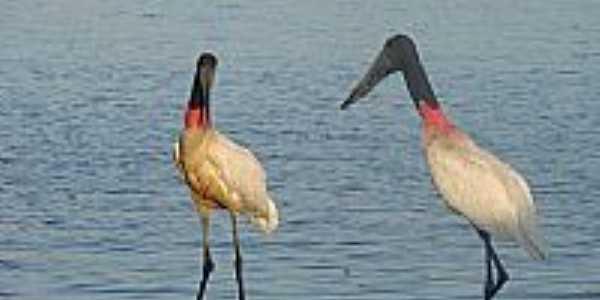 Tuiuiús na margem do Rio Araguaia em Bandeirantes-GO-Foto:BlogBandeirantes-GO