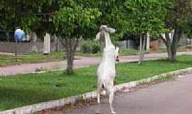 Boca do Acre - Situação inusitada,cabra se alimentando, em Boca do Acre-AM-Foto:olintocristo