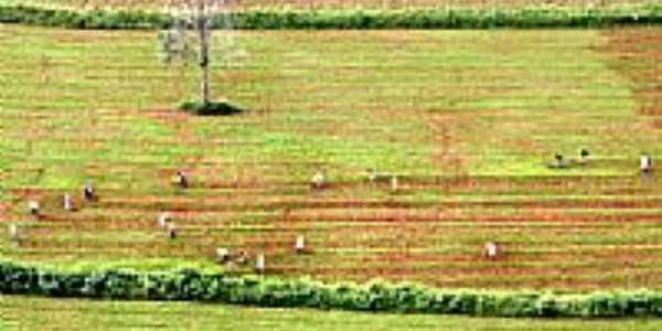 Plantação-Foto:Leoiran
