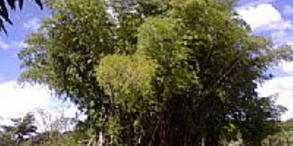 Bambu e o rio em Cezarina-GO-Foto:Mayara Paula