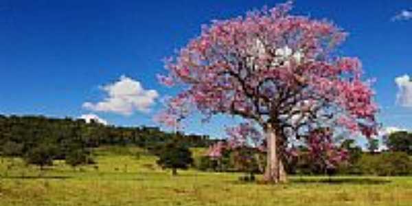 Paineira no Município de Damolândia-Foto:PH ROCHA