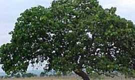 Ivolândia - Árvore de Pequi