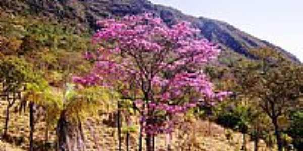 Ipê roxo no serrado goiano em Jaraguá-Foto:julierme.