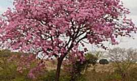 Joviânia - Joviânia-GO-Ipê rosa na região-Foto:roataguile