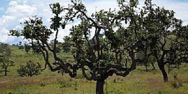 Pires Belo-GO-Árvore do Cerrado no Povoado Córrego das Perobas-Foto:Jorge Abrão