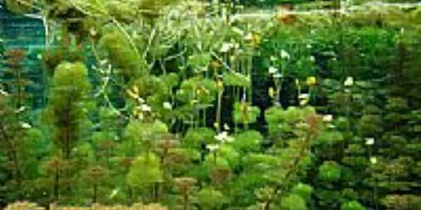 Lagoa Santa-GO-Plantas aquáticas na Lagoa-Foto:www.lagoasantagoias