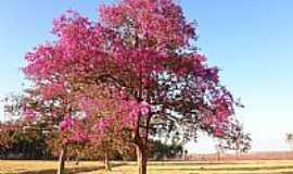 Trindade - Trindade-GO-Árvore Cega Machado ou Pau Ferro,Fazenda Barro Branco-Foto:Pe. Edinisio Pereira