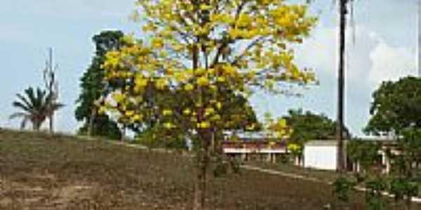 Ipê amarelo na área rural em Aldeias Altas-MA-Foto:Isaias Cunha