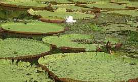 Manaquiri - Manaquiri-AM-Vitórias Régias no Lago do Januacá-Foto:Silvestre dos Santos lima
