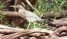 Novo Airão - Novo Airão-AM-Pássaro na margem do Rio Negro-Foto:thor☼odin
