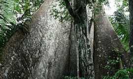 Novo Airão - Novo Airão-AM-Tronco de árvore Ceiba Pentandra-Foto:thor☼odin