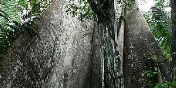 Novo Airão-AM-Tronco de árvore Ceiba Pentandra-Foto:thor☼odin