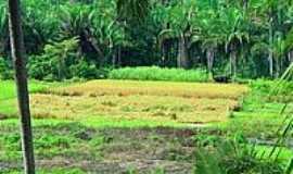 Sucupira do Riachão - Roça de Arroz na colheita em Sucupira do Riachão-Foto:Agamenon Pedrosa