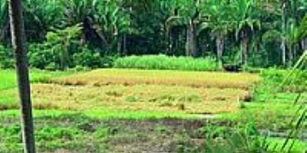 Roça de Arroz na colheita em Sucupira do Riachão-Foto:Agamenon Pedrosa