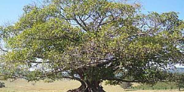 Aguanil-MG-Linda árvore no campo-Foto:chokito.jam