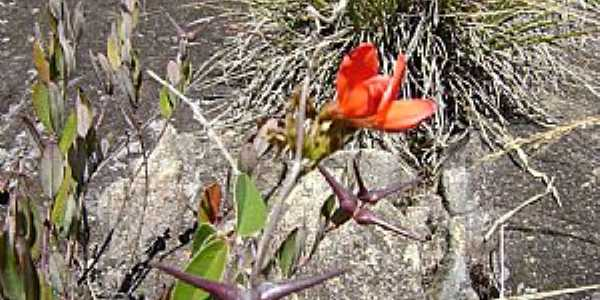 Alto Caparaó-MG-Flora do Caparaó-Foto:MohammadAlberth