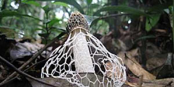 São Gabriel da Cachoeira-AM-Cogumelo raro e muito interessante-Foto:Peter van der Sleen