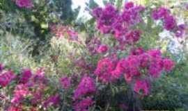 Angustura - As belas flores, Por Heloisa Moutinho Rocha
