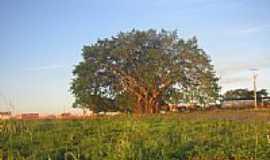Araporã - A frondosa Gameleira-Foto:Terio