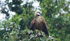 Tefé - São inúmeras as espécies de pássaros que vivem na Reserva do Mamirauá em Tefé-AM-Foto:Rodrigo