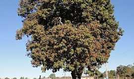 Caatinga - Caatinga-MG-Árvore Baru-Foto:Paulo Noronha
