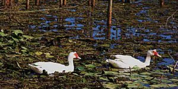 Caçarema-MG-Patos na Lagoa Bom Sucesso-Foto:aquiondeeumoro.