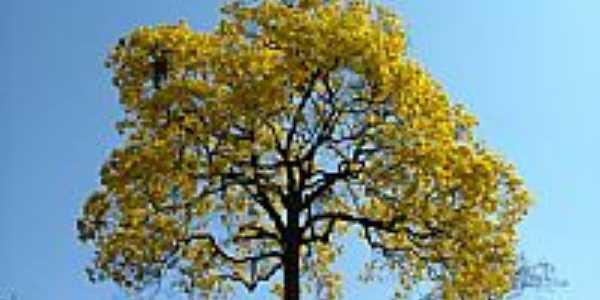 Ipê amarelo-Foto:airtonlagoeiro