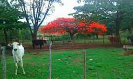 Dores do Indaiá - Dores do Indaiá-MG-Flamboyant na área rural-Foto:Vinicius Silva Zica-Facebook