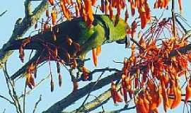 Dores do Indaiá - Dores do Indaiá-MG-Maritaca no pé de Mulungú-Foto:Eduardo Caetano Guimarães-Facebook